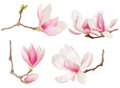 Magnolia flower twig spring collection isolated on white clipping path included Royalty Free Stock Image