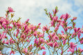 Magnolia Flowers Against a Cloudy Blue Sky Royalty Free Stock Photo