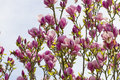 Magnolia flowers blooming for spring over blue sky Stock Images