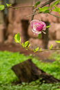 Magnolia flowers on a blury background over blur stump in green grass and leaves Stock Photography