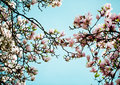Magnolia flowers flowering tree densely covered with beautiful fresh pink in spring Stock Photography