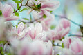 Magnolia flowers flowering tree densely covered with beautiful fresh pink in spring Royalty Free Stock Image