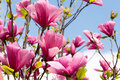 Magnolia flowers on the sky background Royalty Free Stock Photo