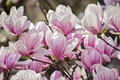 Magnolia flowers white and pink Royalty Free Stock Photo