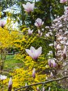 Magnolia. Forsythia. Spring flowering city Park.
