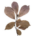 Magnolia Herbarium