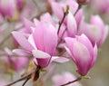 Magnolia Jane Royalty Free Stock Photo