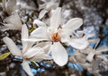 Magnolia kobus blooming tree with white flowers Royalty Free Stock Photography