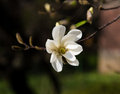 Magnolia kobus blooming tree with white flowers Royalty Free Stock Photo
