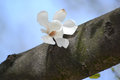 Magnolia kobus flower magnolia kobus dc on a tree trunk Stock Photos