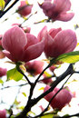 Magnolia - pink Stock Photo