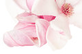 Magnolia pink spring flower macro border on white clipping path included Royalty Free Stock Photo