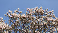 Magnolia soulangeana details of a beautiful blossoming tree in spring the Stock Photos