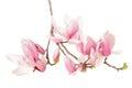 Magnolia, Spring Flower Branch