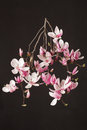 Magnolia, spring pink flower branch on black Royalty Free Stock Photo