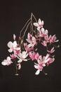Magnolia, Spring Pink Flower B...