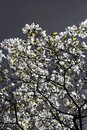 Magnolia stellata in springtime one of the first blooming tree is the wonderful hamburg germany Royalty Free Stock Image
