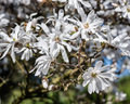 Magnolia stellata tree in bloom in an early spring Royalty Free Stock Photos