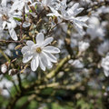 Magnolia stellata tree in bloom in an early spring Royalty Free Stock Images