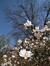 Magnolia tree Royalty Free Stock Photos