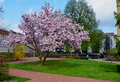 Magnolia tree beautiful blossom in a parc near my hotel Royalty Free Stock Photography