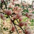 Magnolia Tree Blooming On Spring