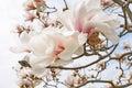 Magnolia tree blossom Royalty Free Stock Photo
