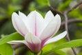 Magnolia tree blossom closeup Royalty Free Stock Photo