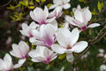 Magnolia tree blossom spring blossoms in the garden Royalty Free Stock Image