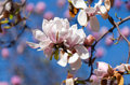 Magnolia tree blossom spring blossoms in the garden Stock Photos
