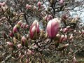 Magnolia Tree Branches with Unfolding Flower Blossom Buds in Spring. Royalty Free Stock Photo