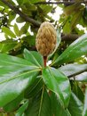 Magnolia tree and bud flower close-up Royalty Free Stock Photo