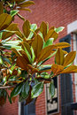 Magnolia tree in Savannah, GA Royalty Free Stock Photo
