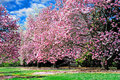 Magnolia Trees Royalty Free Stock Photo