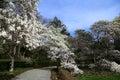 Magnolia Trees