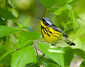 Magnolia warbler siting on a green plant backdrop Stock Images
