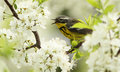 Magnolia warbler in spring Royalty Free Stock Photo