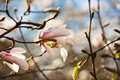 Magnolia white flowers blossoming of in spring time Stock Photography