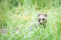 Magnut raccoon dog a young hiding in grassy undergrowth Stock Photo