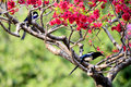 Magpie on branch the ancient chinese legend the the tree good season Stock Photography