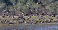 Magpie Geese Royalty Free Stock Photo