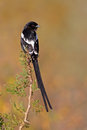 Magpie shrike a urolestes melanoleucus perched on a branch south africa Royalty Free Stock Image