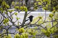 A magpie sits on top of a chestnut tree that will bloom soon. A stunning view of the verdant chestnut branches in early spring. Royalty Free Stock Photo