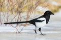 Magpie skating away on the ice Royalty Free Stock Photo