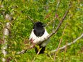 Magpie on tree branch sitting Royalty Free Stock Image