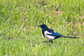 Magpie on a walk walks the green grass Royalty Free Stock Photography