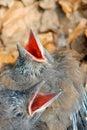 Magpies Royalty Free Stock Photo