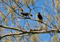 Magpies in the Branches Royalty Free Stock Photo