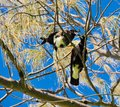 Magpies Cavorting Royalty Free Stock Photo