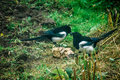 Magpies. Royalty Free Stock Photo